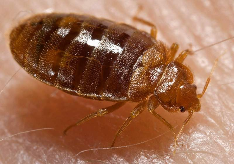 Thumbnail image for Bed_bug,_Cimex_lectularius.jpg